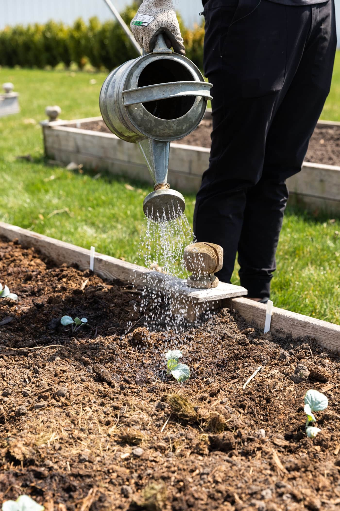 Hand watering small green plants in raised garden bed with green grass in background